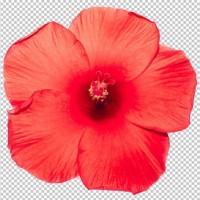 priorita-bassa-rossa-della-trasparenza-del-fiore-dell-ibisco-oggetto-floreale-tropicale_42350-434